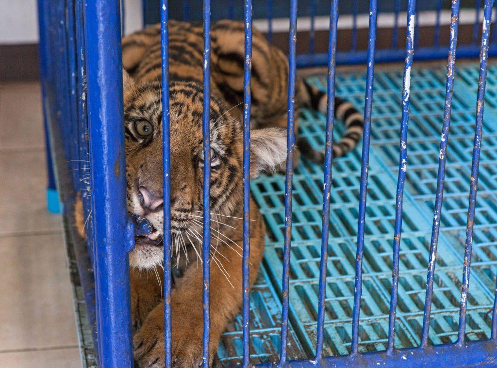 tiger i bur
